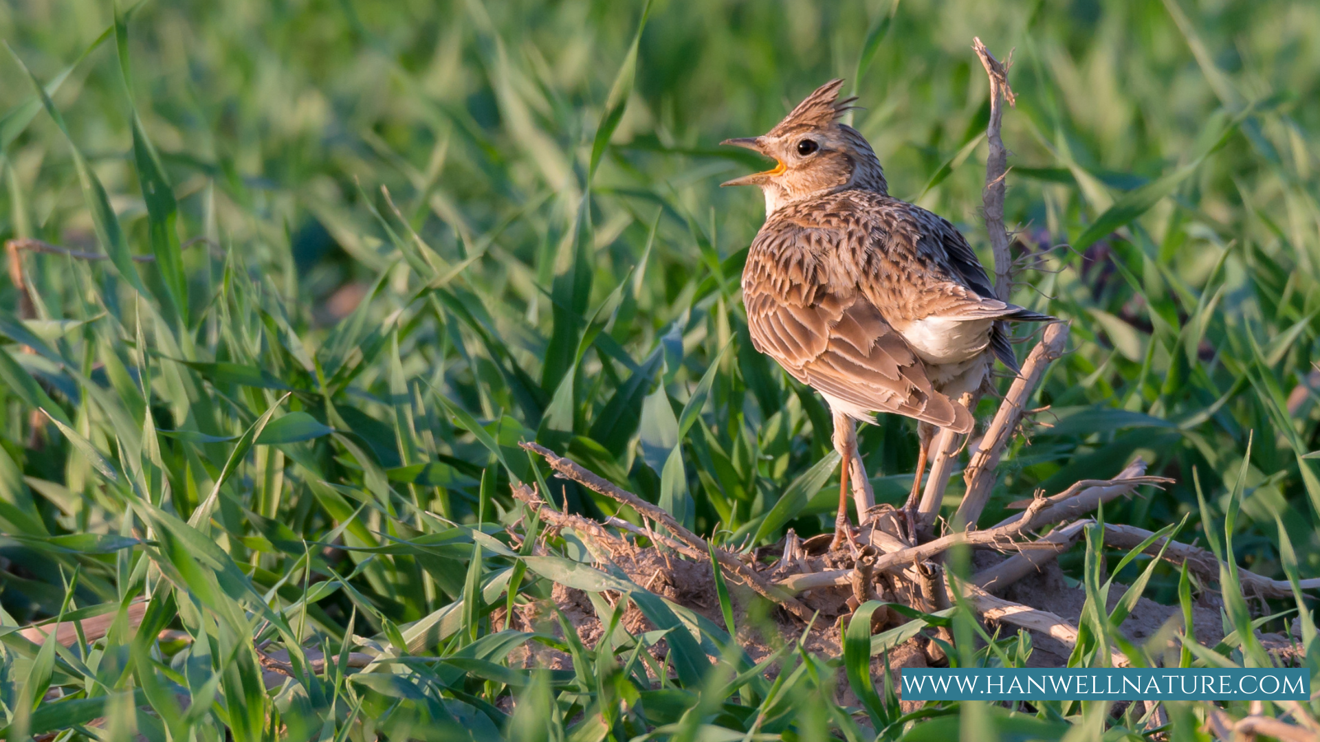 Skylark on the ground size compated to grass