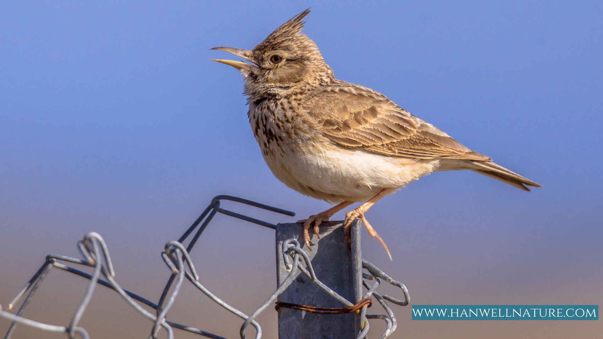 Skylark on chain fence