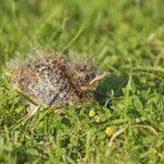 Vulnerable Skylark chicks are easily trampled